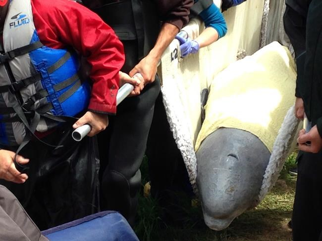 A beluga whale is rescued after getting stuck in the Nepisiguit River in Bathurst, N.B., on Thursday, June 15, 2017, in this handout photo. An endangered beluga whale has landed in Riviere-du-Loup, Que., and is now being transported to a nearby port on the St. Lawrence River to join a pod in its natural habitat. THE CANADIAN PRESS/HO - Fisheries and Oceans Canada, GREMM ou Whale Stewardship Project *MANDATORY CREDIT*