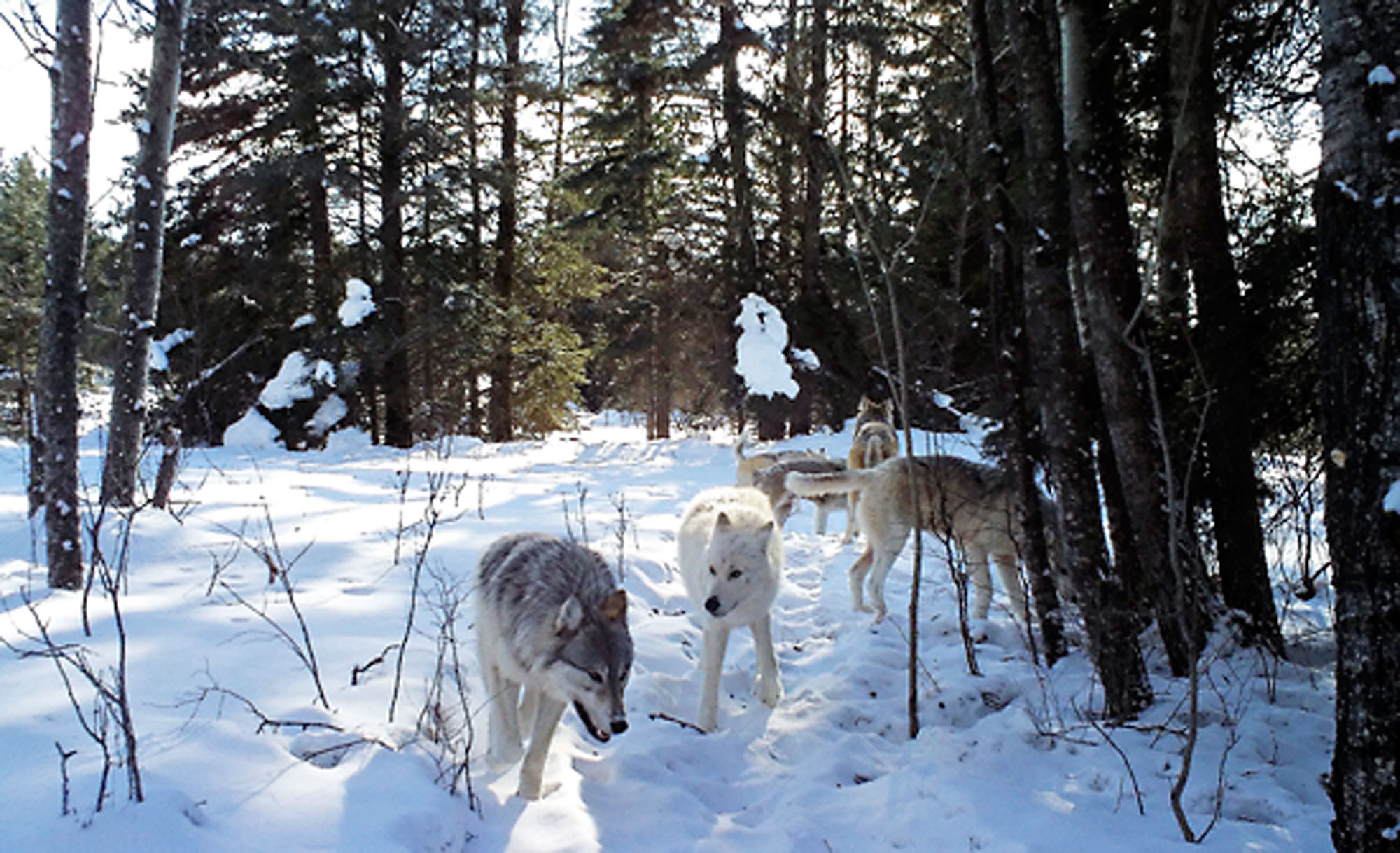 A trail camera captures a pack of grey wolves in Riding Mountain National Park.
