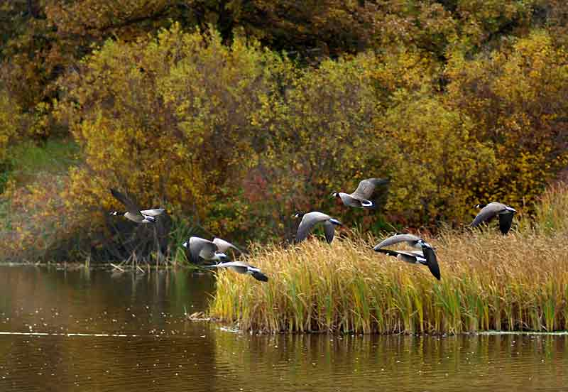 Waterfowl are easier to spot because they concentrate in large numbers while staging in the area before heading south. Deer, bears, and other large mammals are more noticeable during the fall.