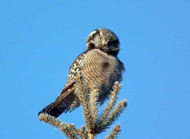 A Northern Hawk Owl checks out the photographer from his perch above the Minnedosa Bison Compound.