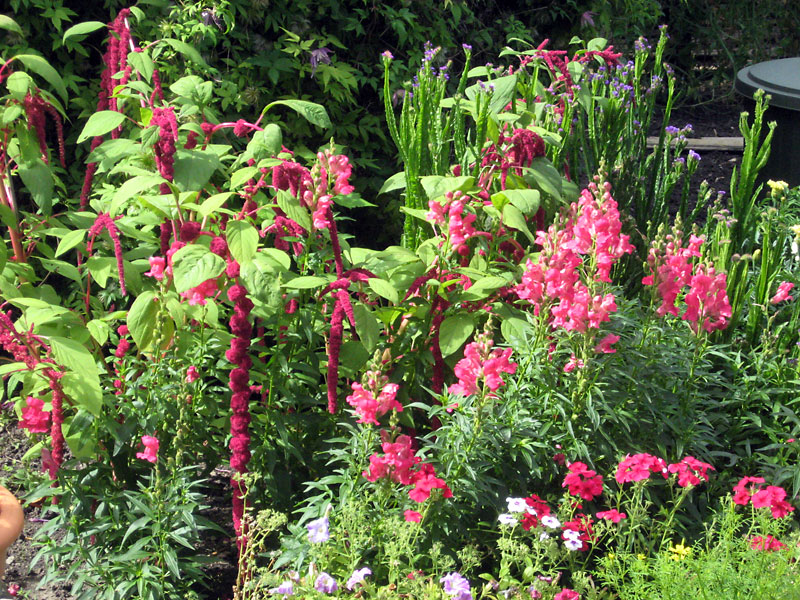 A clump of snapdragons fits well into a mixed border.