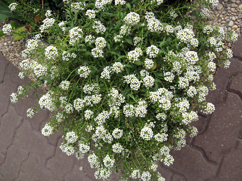 Sweet alyssum is often used as a filler.