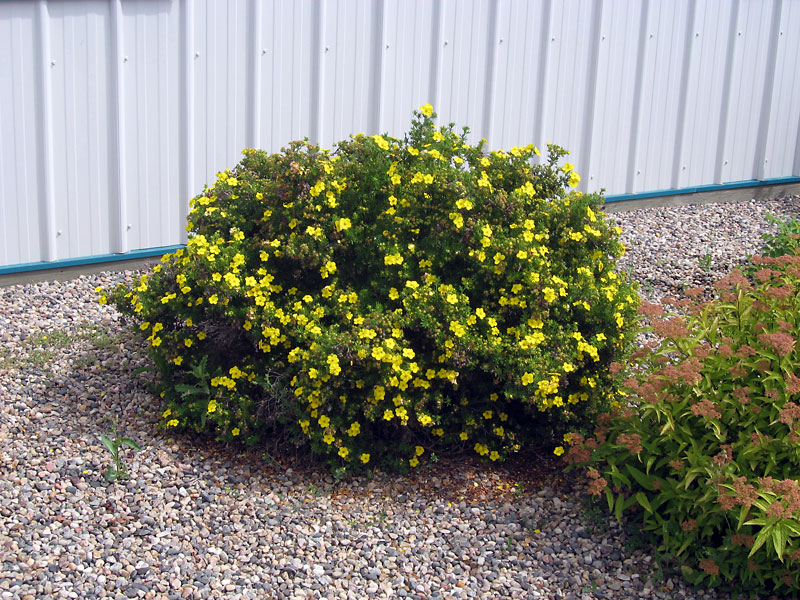 Potentilla has enough colour and textural interest to be used as a specimen in a xeriscape.