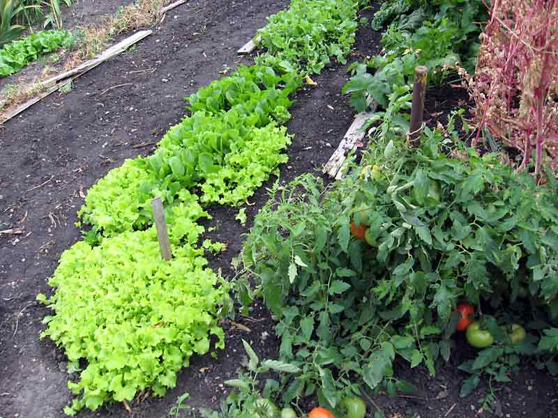 I continue to preach the benefits of succession planting and reaped the benefits by having a profusion of lettuce and radish, even in the late fall garden.