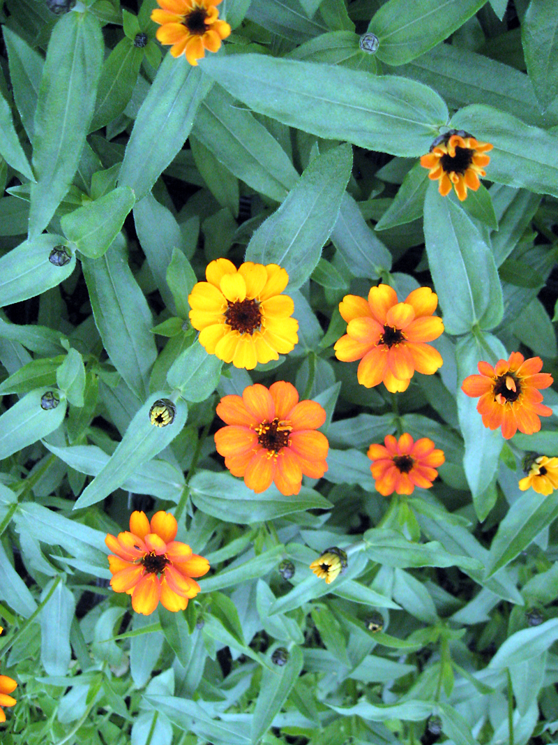 Small flowered zinnias can serve as colourful fillers.