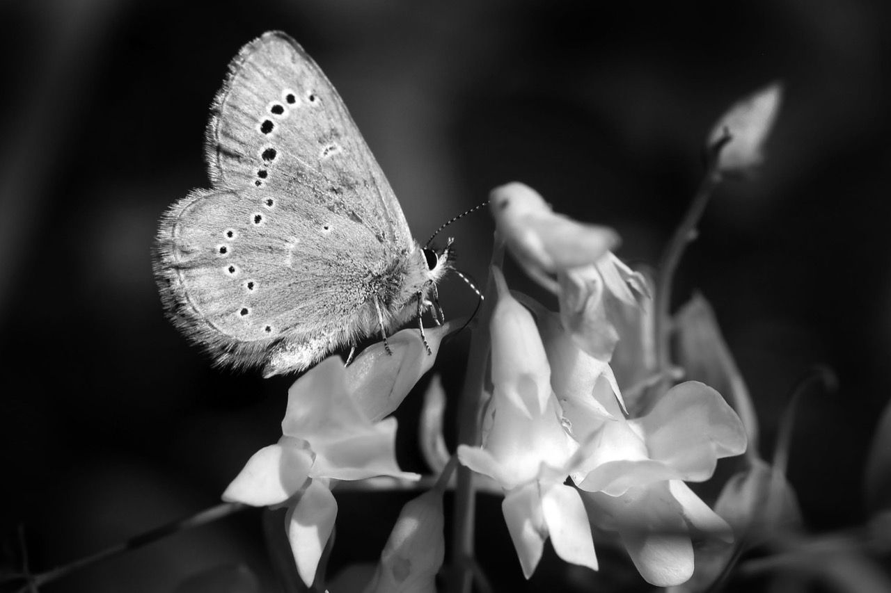 A Northern Blue butterfly clings to the petals of a flower as it gather nectar on Monday afternoon at the Brandon Hills. (Bruce Bumstead / Brandon Sun)